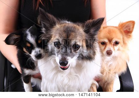 Three Chihuahua Dogs Are Resting