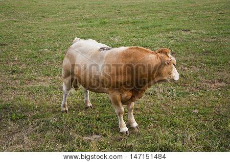 Reddish bull grazing in the field. Photo taken in Navarre, Spain