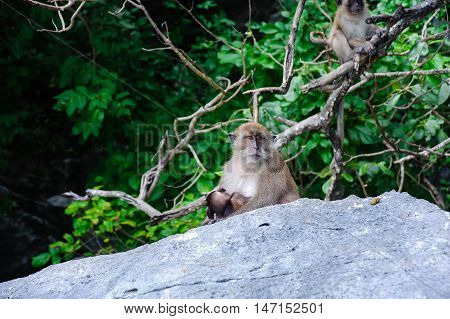 Macaca fascicularis female with the cub sitting on a rock. Monkey beach Thailand.