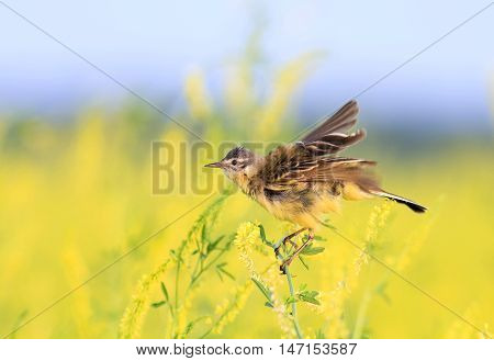 funny bird a Wagtail singing on a meadow with shredded feathers