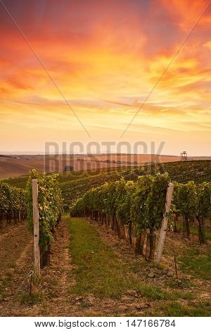 Beautiful Grape Vines In Moravia, Toned At Sunset