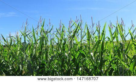 Field Of Sweetcorn