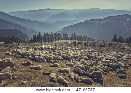 Large flock of sheep resting in a traditional rustic sheepfold on a sunny summer morning up in Bucegi Mountains Romania.
