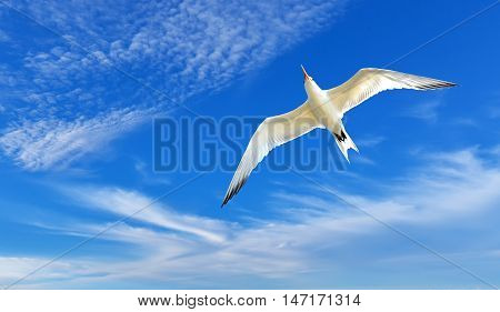 Flying gull or sea gull in blue sky with white clouds