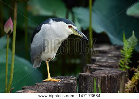 Adult black-crowned night heron waiting patiently at a pond edge for a fish to swim by