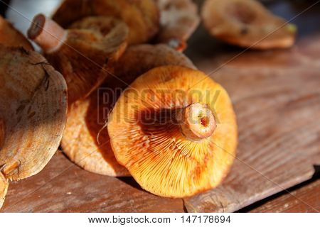 collected saffron milk cap on the table