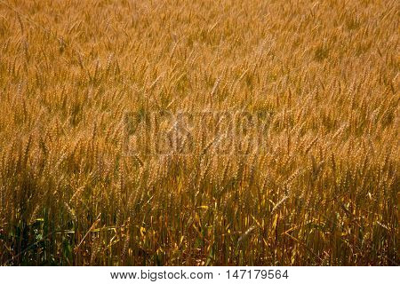 Yellow grain on stem field crop texture