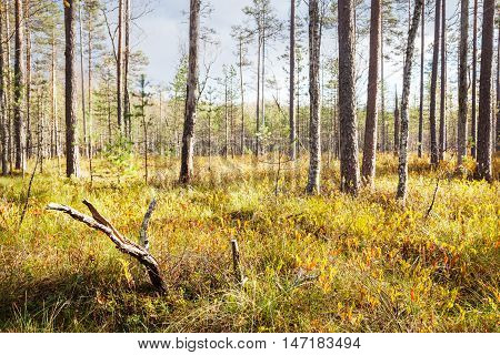Autumn ladscape. Dry bog in wild forest
