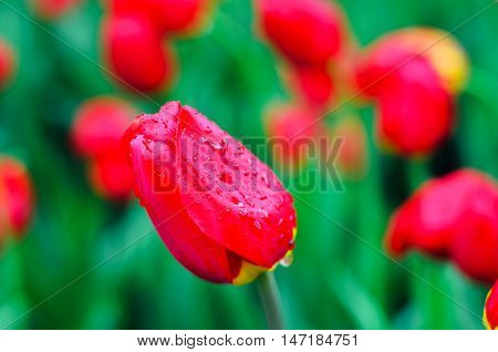 Red tulip with rain drops against the backdrop of other red tulips. Blurring background. Nature after rain