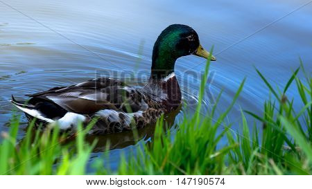 Wild male duck swimming on the pond by its grassy bank