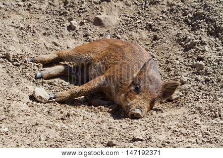 Pig lying on the ground in the sun