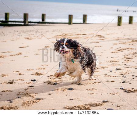 Cavalier King Charles Spaniel At The Beach.
