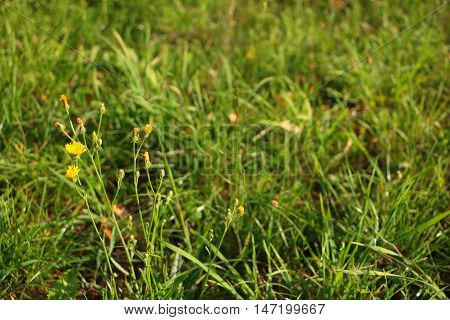 Defocused unkept grass during sunset with soft warm light and focused small yellow flower in left side of photo photo taken in