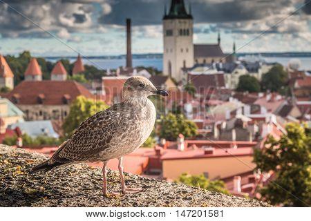 Bird in the old city of Tallinn in Estonia
