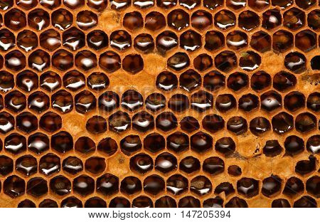 Honey beehive, unfinished honey making in honeycombs.