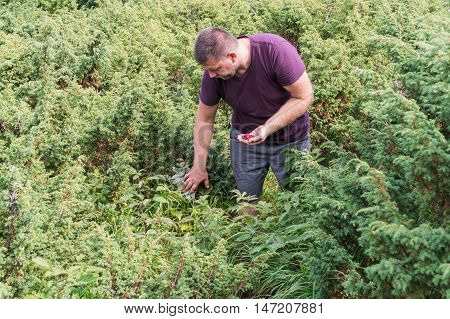 Man pick wild raspberries among the juniper bushes