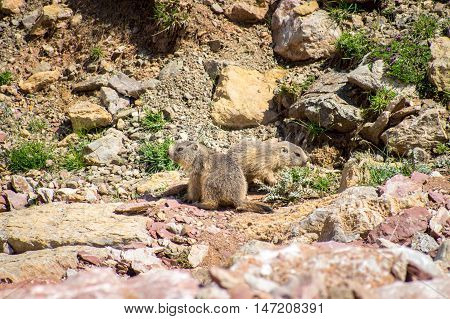 Marmots living in the rocks in the mountains, Pyrenees, Girona, Alp, Catalonia, Spain