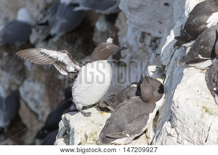 Guillemot on the cliffs at bempton cliffs breeding colony England