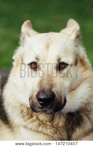 portrait of dog face, green background