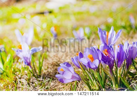 Spring background with close-up group of blooming crocuses spring flowers with copyspace