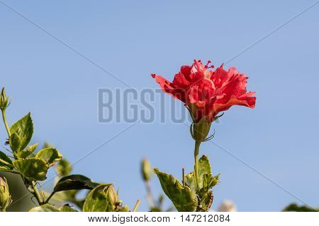Beautiful red hibiscus with a blue sky. Fuerteventura.