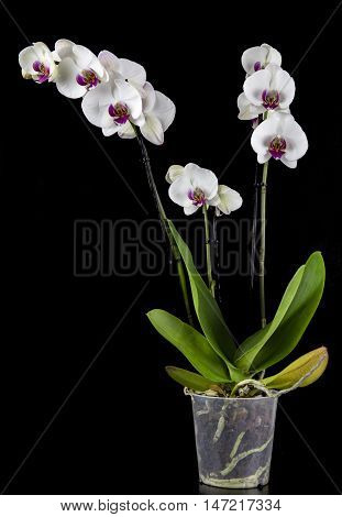 A white Orchid on a black background