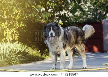 Adult Caucasian Shepherd dog. Fluffy Caucasian shepherd dog in the yard poster