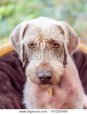 Purebred German Wire-haired Pointer