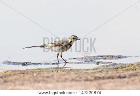 Grey wagtail walking near the water (motacilla cinerea)