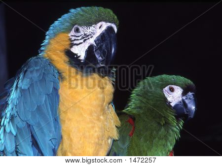2Macaws