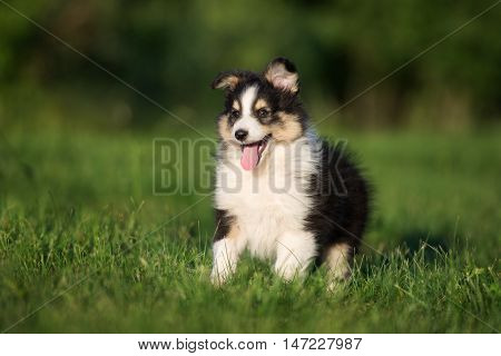 adorable tricolor sheltie puppy outdoors in summer