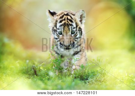 adorable siberian tiger cub walking outdoors in summer