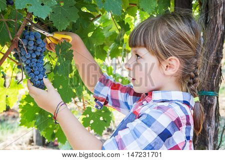 little girl picking grape during wine harvest