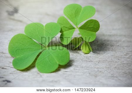 Macro shot of Three leaf clover on a rustic wooden table. Shamrock plant is a symbol of luck or st. Patrick's day. Ireland national symbol