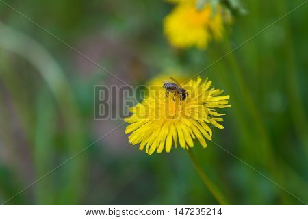 bee collects nectar from yello dandelion flower