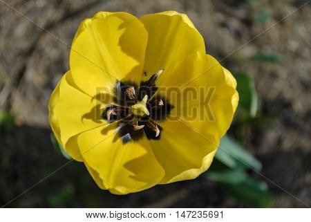 Bright yellow tulip flower on a background of brown earth.