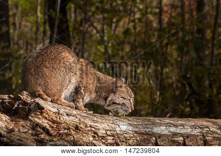 Bobcat (Lynx rufus) Sniffs at Log - captive animal