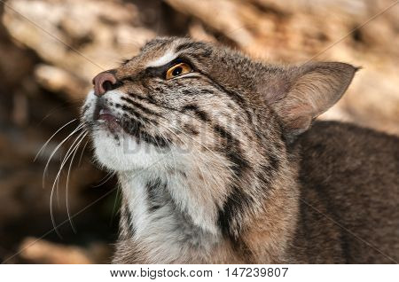 Bobcat (Lynx rufus) Looks Up Close Up - captive animal