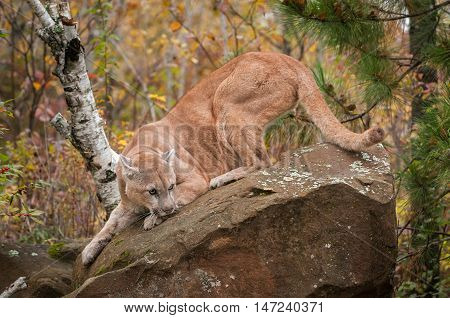 Adult Male Cougar (Puma concolor) Head Down on Rock - captive animal