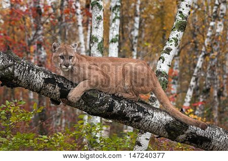 Adult Male Cougar (Puma concolor) Looks Out from Birch Branch - captive animal