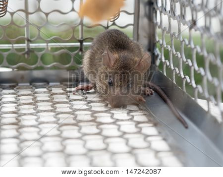 rat in the caged, It dirty and repulsive