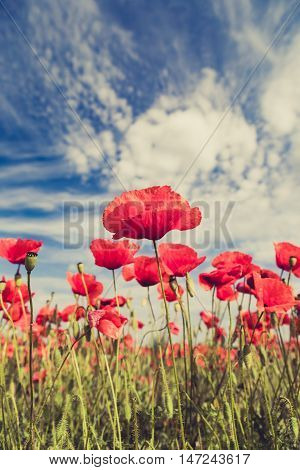 Poppy flowers retro vintage summer background shallow depth of field with red flowers over blue sky background. Meadow with beautiful bright red poppy flowers in spring.
