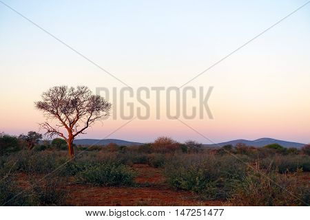 picture of the South African bush,taken at sunset in Madikwe game reserve.