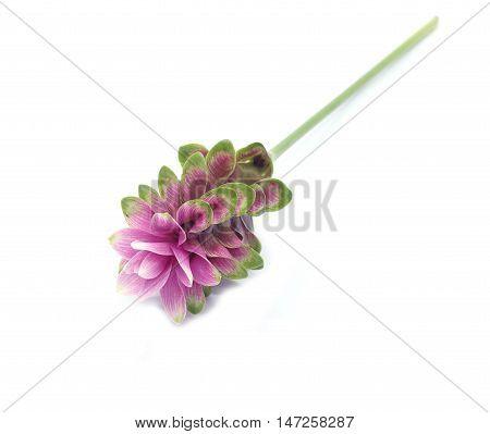Curcuma alismatifolia blossom isolated on white background