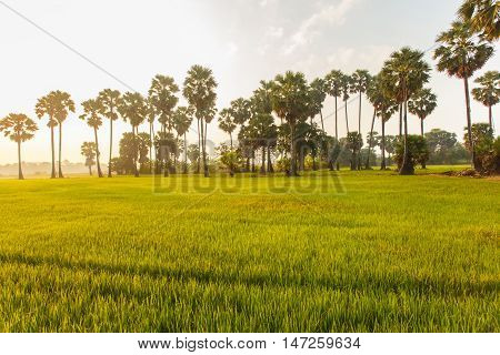 Rice field with palm tree background in morning Phetchaburi Thailand.