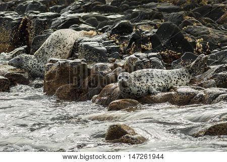 Pusa is a genus of earless seals. Island in the Pacific Ocean near Kamchatka Peninsula.