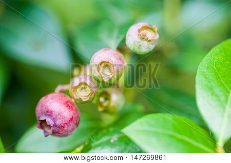 Unripe Green And Red Blueberries