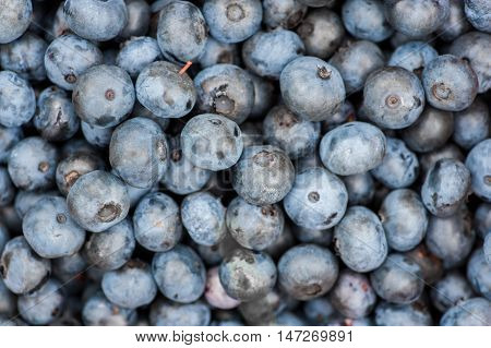 Background Of Fresh Blueberries In Nature Outdoors
