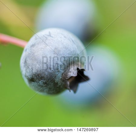 Macro Of One Fresh Blueberry In Nature