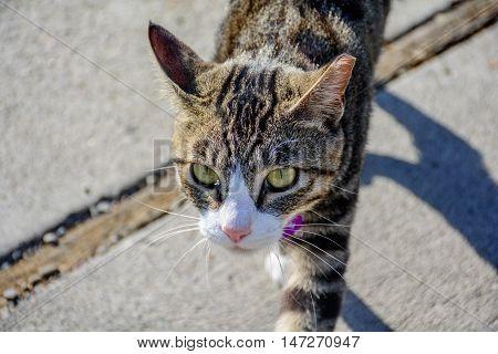 Close Up Outdoor Imposing Cat Walking Around